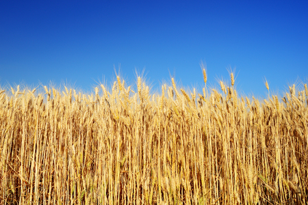 spica: Golden wheat and blue sky