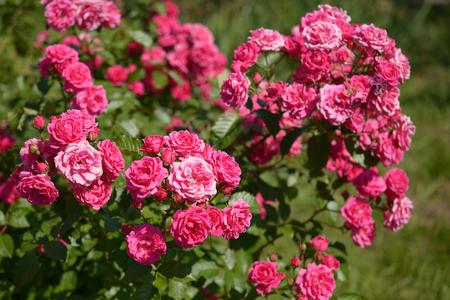 rose garden: Bush of pink roses