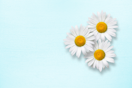 blue petals: Chamomile flowers on blue wooden background