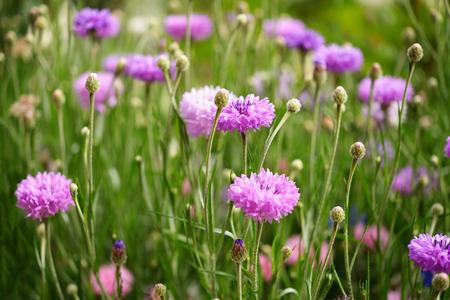 garden cornflowers: Purple cornflowers in garden