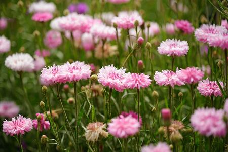 garden cornflowers: Pink cornflowers in garden