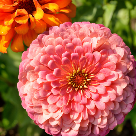 Flowers of zinnia in garden top view Stock Photo