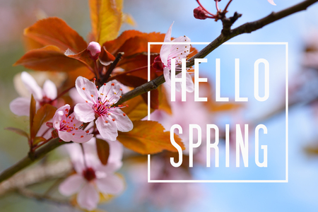 Hello Spring text and cherry plum blossom