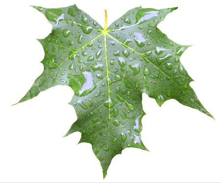 aralia: green maple leaf with rain drops isolated