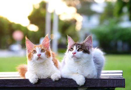 Portrait of 2 cute cats sitting on a chair in green garden with soft light background. Two beautiful kittens wondering and looking at the top. Black-white and red-white kittens.