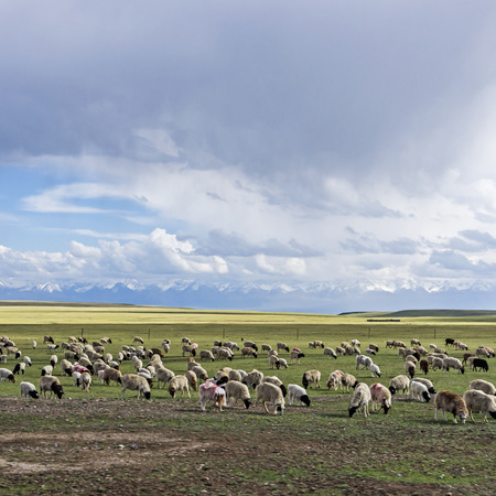 Sheep herd in a green meadow. Archivio Fotografico