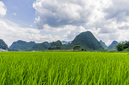Green nature landscape with Paddy rice field.