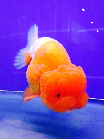 gold: Gold fish in a glass tank
