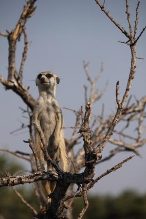 sentinel: Meerkat Sentinel Stock Photo