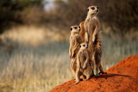 suricatta: Meerkat Family