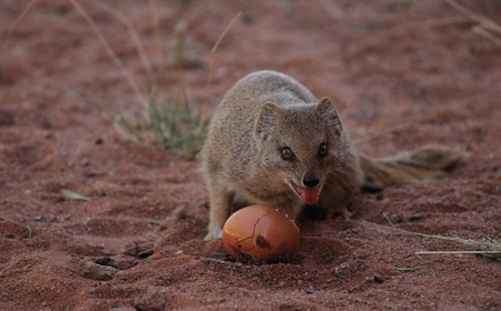 mongoose: Yellow mongoose