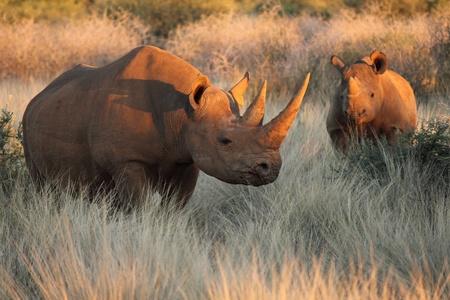 nashorn: Black Rhino und Kalb