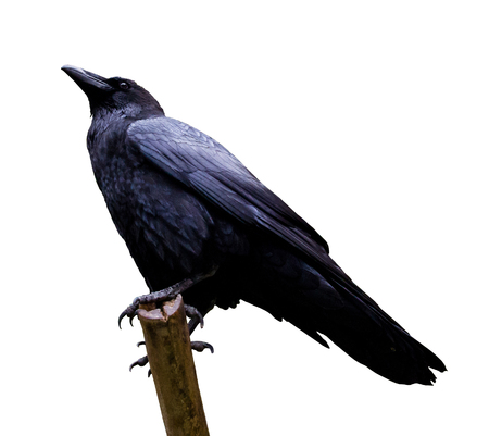 curved leg: Side view of a Raven on a branch, isolated on white Stock Photo