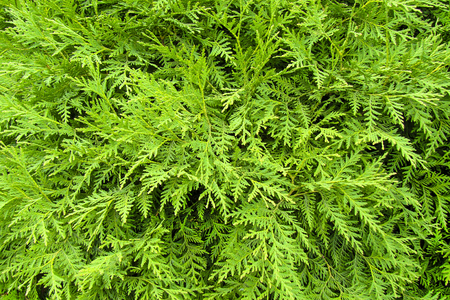 thuja occidentalis: the image shows a green thuja occidentalis background Stock Photo