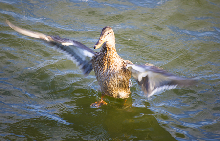 taking off: duck taking off from water, summer day