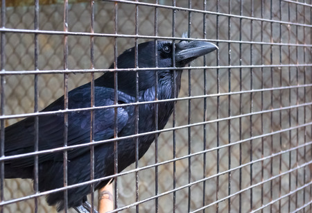 curved leg: Side view of a Raven in a cage, close up Stock Photo