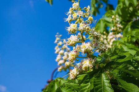 castanea sativa: Flowering branches of chestnut (Castanea sativa) tree, and bright blue sky
