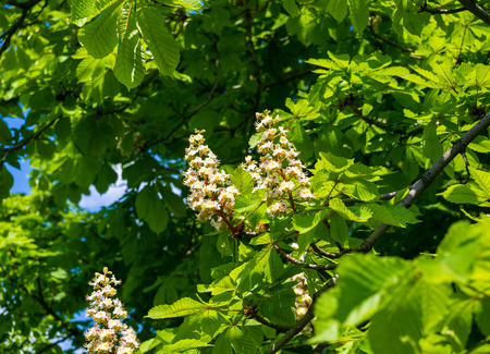 castanea sativa: Flowering branches of chestnut (Castanea sativa) tree, and bright blue sky