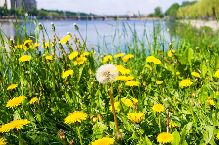 wither: city Park spring - dandelions wither, green grass, river, blurred background Stock Photo