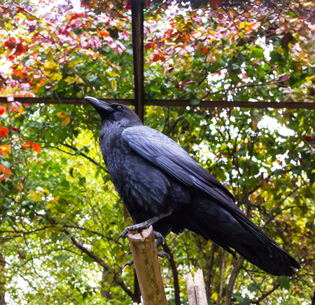 Side view of a Raven on a branch, closeup Stock Photo