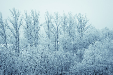 winter morning landscape - the trees in frost, tinted foto