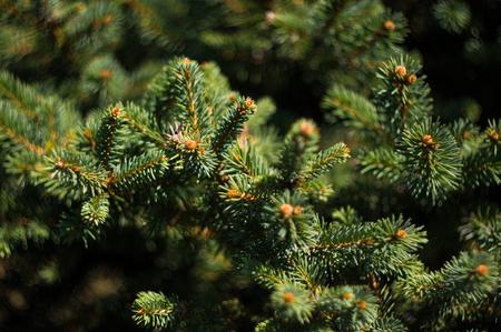 Green fluffy fir tree brunch close up, Christmas wallpaper concept.