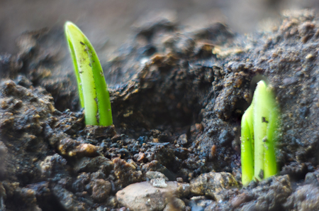 growing little green sprouts of young plants in sunlight Stock Photo