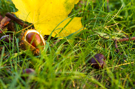autumn leaves and chestnuts in green grass, close up Stock Photo
