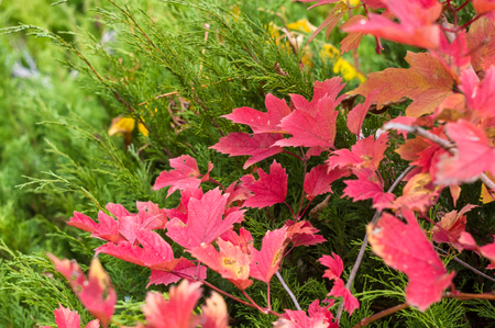 bright red, green and yellow autumn leaves, close up