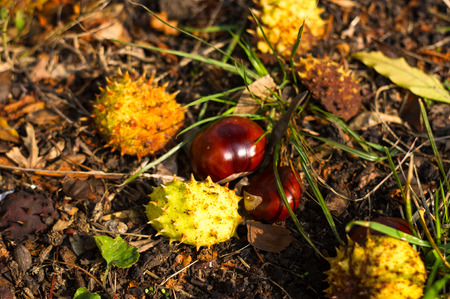 albero nocciolo: autumn leaves and chestnuts on the ground, close up