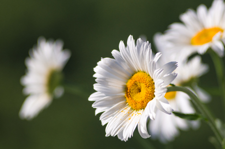 Blooming chamomile, beautiful nature scene, summer background, selective focus Stock Photo