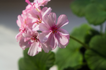 Lovely pink and white Pelargonium Geranium flowers