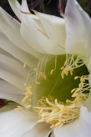 Cactus flowers echinopsis tubiflora, selective soft focus, black background