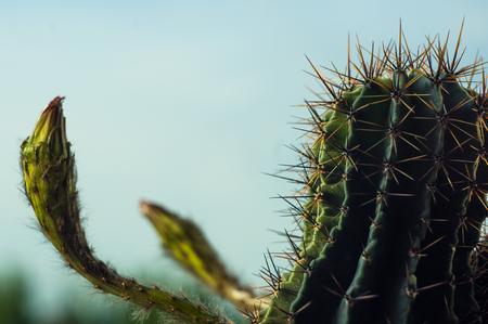 Cactus echinopsis tubiflora, selective focus, close up
