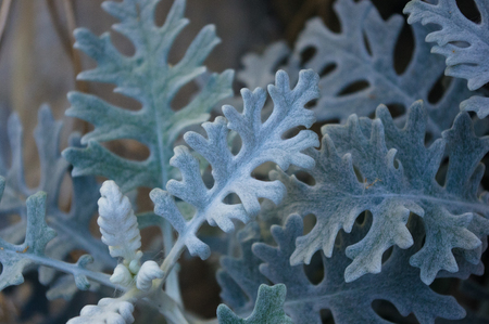 Cineraria maritima or Senecio cineraria. Dusty miller plant or Jacobaea maritima. Silver dust in the garden, close up.