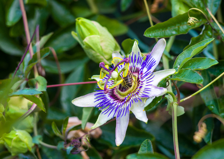 macro closeup of a beautiful intricate incredible alien blue and purple passion flower Passiflora caerulea Passionflower against green garden background, with bees