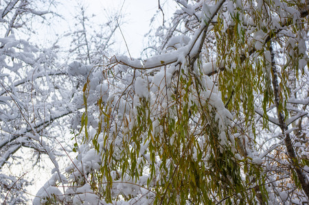 snow-covered branches and trees in the city park, winter landscape