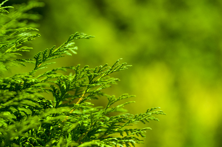Incense cedar tree Calocedrus decurrens branch close up. Thuja cones branch pattern. Conifer seeds of cypress on green background, macro 免版税图像