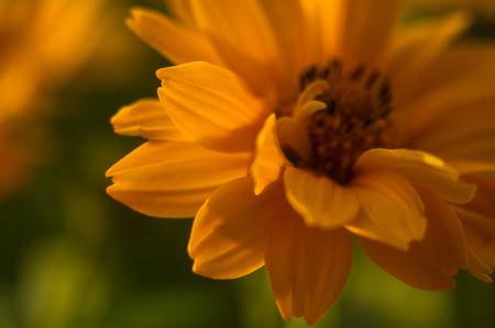 Beautiful bouquet of bright yellow flowers Heliopsis helianthoides on a Sunny day, close-up. Stock Photo