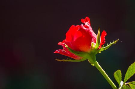 Schöne rote Rosenblume auf dunklem Hintergrund. Natur. Grußkarte