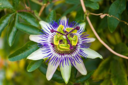 Gros plan macro d'une belle incroyable complexe exotique bleu et violet passiflore Passiflora caerulea Passiflore contre fond de jardin vert, avec des abeilles