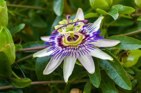 Gros plan macro d'une belle incroyable complexe exotique bleu et violet passiflore Passiflora caerulea Passiflore contre fond de jardin vert, avec des abeilles Banque d'images