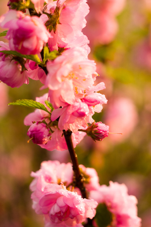 Background blooming beautiful pink cherries in raindrops on a sunny day in early spring close up Imagens