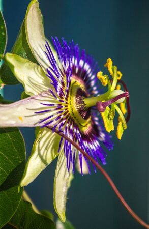macro closeup of a beautiful intricate incredible alien blue and purple passion flower Passiflora caerulea Passionflower against green garden background, with bees Stock Photo - 129128625