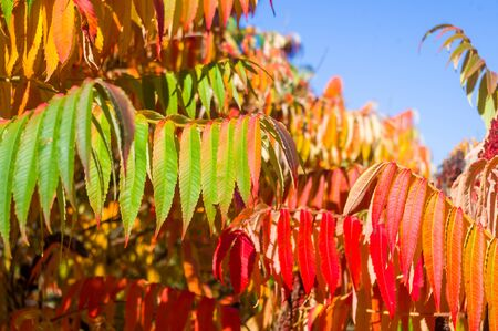 Autumn red and yellow colors of the Rhus typhina, Staghorn sumac, leaves of sumac on blue sky