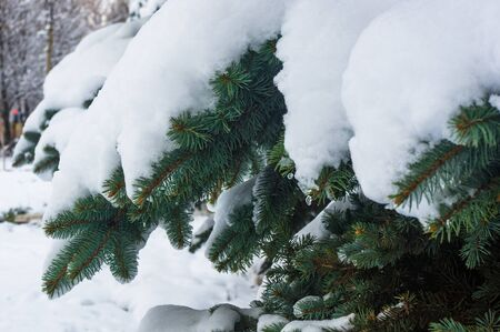 Green fluffy fir tree branch in the snow, Christmas wallpaper concept. Imagens - 133184244