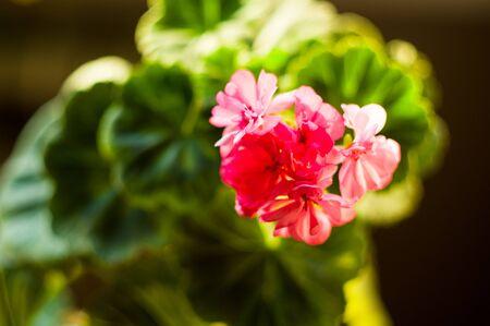Lovely pink Pelargonium Geranium flowers, close up, soft focus