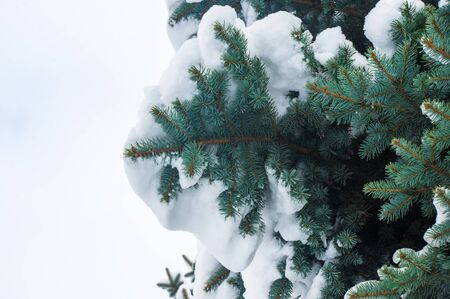 Green fluffy fir tree branch in the snow, Christmas wallpaper concept.