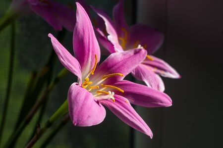 decorative pink flower rain lily Zephyranthes grandiflora on blurred background Stock Photo
