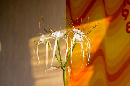 Hymenocallis caribaea, caribbean spider-lily, unique style white flower on multicolored background, illuminated by the sunset sun, close-up